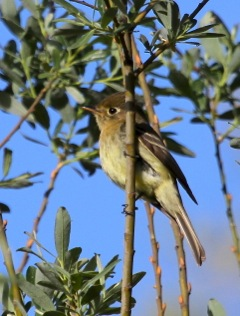 Pacific Slope Flycatcher (J. Waterman 4/6/13)