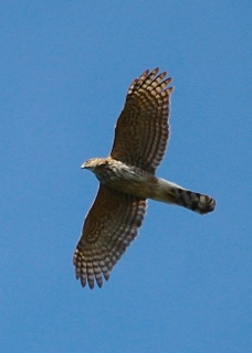 Cooper's Hawk (J. Waterman 4/6/13)