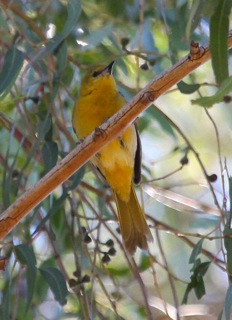 Hooded Oriole female (J. Waterman 4/6/13)