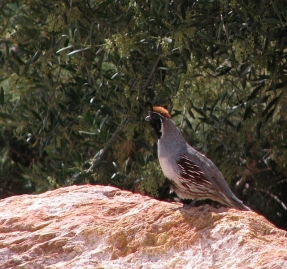 Gambel's Quail (L. Johnson 5/3/08)