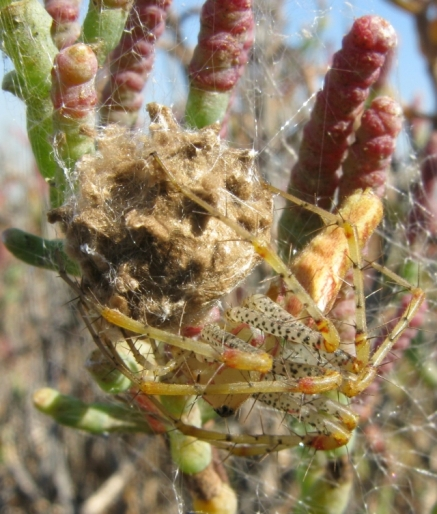 Female Green Lynx Spider -Peucetia viridans - & egg sac, in pickleweed  (M. Ramirez 10/25/08)