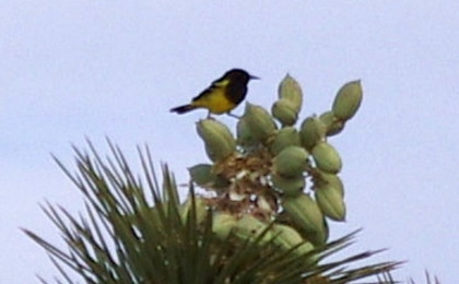 Scott's Oriole on a Joshua Tree seed pod (D. Roberts 5/4/13)