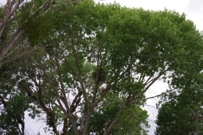 The lump in the tree is a nest holding two young Red-tailed Hawks (D. Roberts 5/5/13)