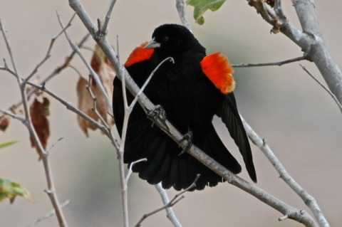 Male Red-winged Blackbird in full breeding display (J. Waterman 5/26/13)