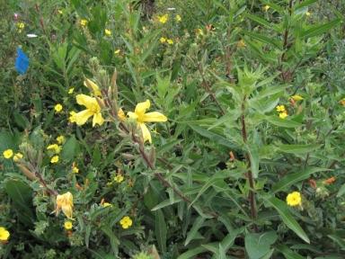 Vegetating hillside flowers (L. Johnson 6/23/13)