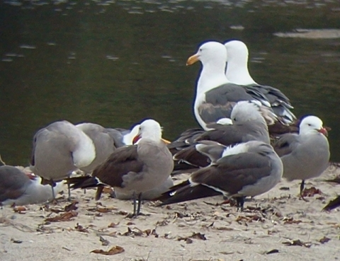 Heermann's and Western Gulls (L. Johnson 6/23/13)