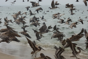 A beach flock just south of the BelAir Beach Club along Will Rogers State Beach.