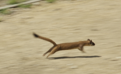 Locally known as 'Willie the Weasel' (Cal. State Parks 6/18/13)