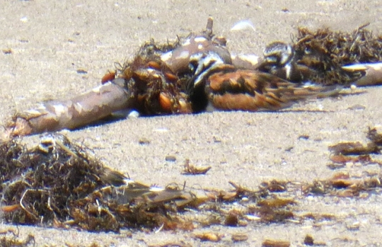 Challenge! - Find the 3rd Ruddy Turnstone (A. Albaisa 7/22/13)