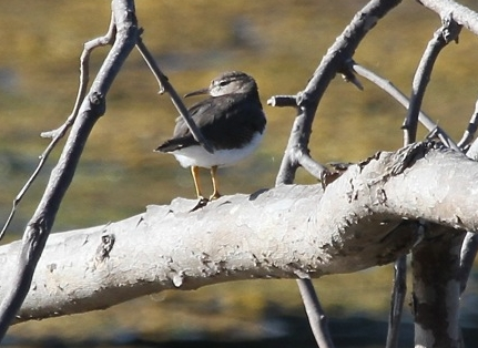 Spotted Sandpiper on the log (J. Waterman 9/22/13)