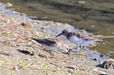 Closeup of two Least Sandpipers, adult in basic plumage behind juvenile (J. Waterman 9/22/13)