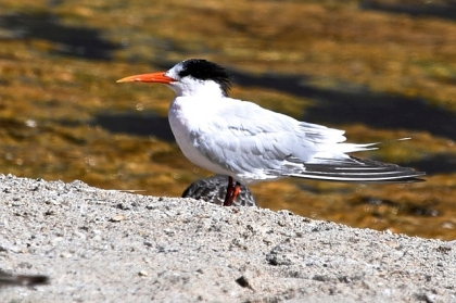Elegant Tern - an unusual red legged version (J. Waterman 9/22/13)