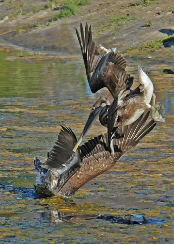 Brown Pelicans diving in Lagoon west channel (J. Kenney 10/6/13)