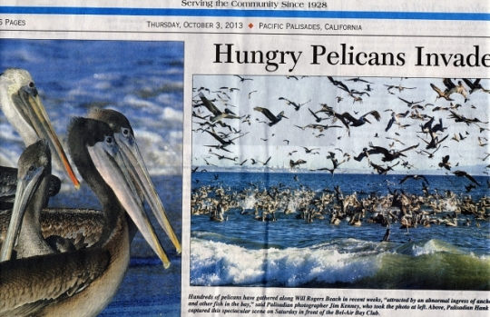 Offshore Brown Pelicans on 10/3/13 Palisadian-Post (Jim Kenney photographer)
