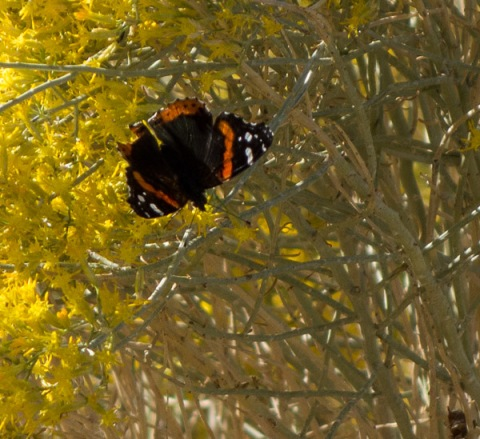 Red Admiral Butterfly (C. Bragg 10/26/13)