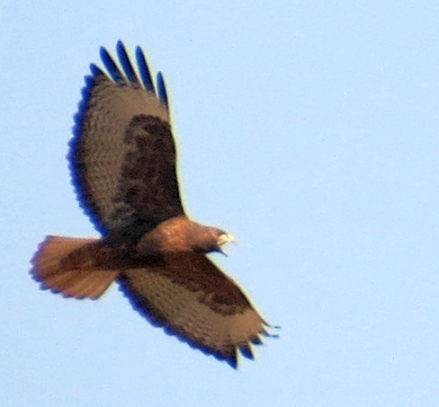 This Dark Red-tail Hawk from two years ago was a dead ringer for one we saw today. (T. Hinnebusch 11/9/13)