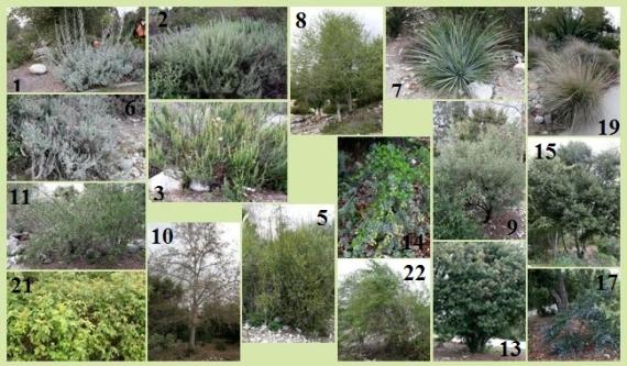Tongva native garden at Pitzer College. Source: http://www.pitzer.edu/offices/arboretum/tongva_garden/plants/plants.htm