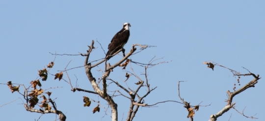 Osprey between meals (Randy Ehler 11/24/13)