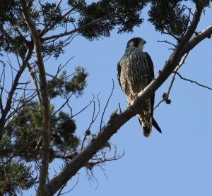 Peregrine Falcon resting in cypress (R. Ehler 12/22/13)