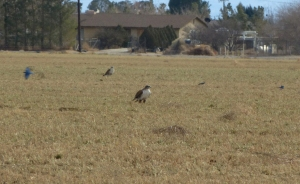 Ferruginous Hawks on the ground, Mei Kwan