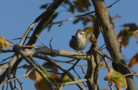 Bewick's Wren in the open (L. Johnson 12/22/13)