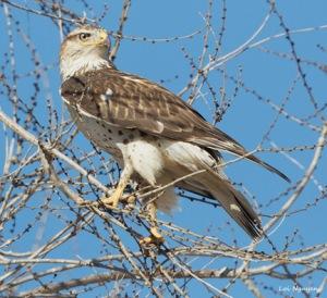 Ferruginous Hawk, Loi Nguyen