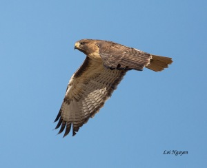 Red-tailed Hawk, Loi Nyugen