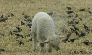 Blackbirds with sheep, Mei Kwan