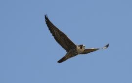 Peregrine Falcon (R. Ehler 2/23/14)