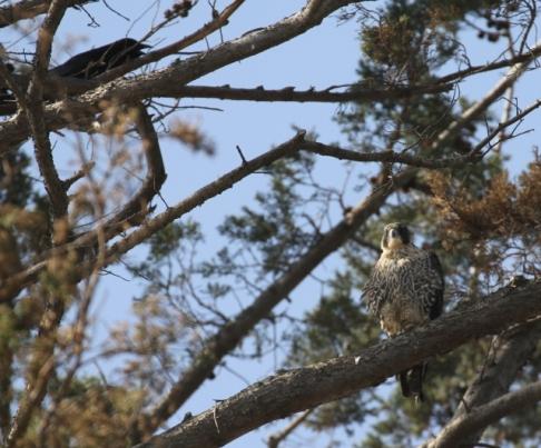Peregrine Falcon & harassing crow (R. Ehler 2/23/14)