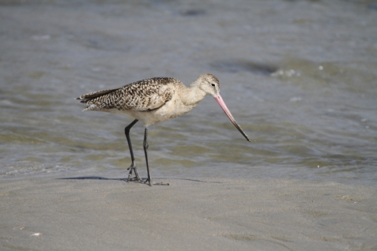 Marbled Godwit at lagoon outlet (R. Ehler 2/23/14)