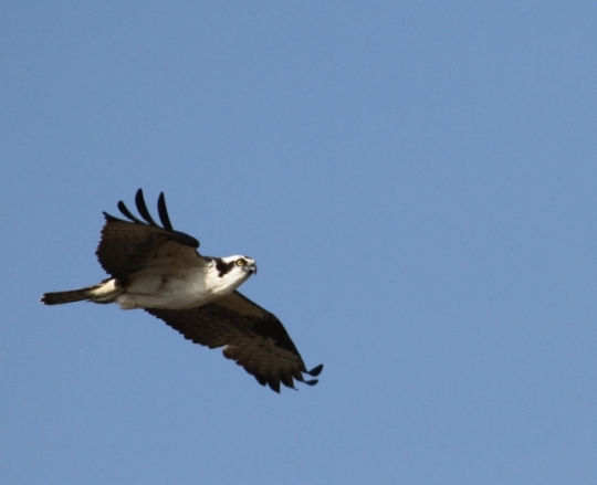 One of the two Ospreys (R. Ehler 2/23/14)