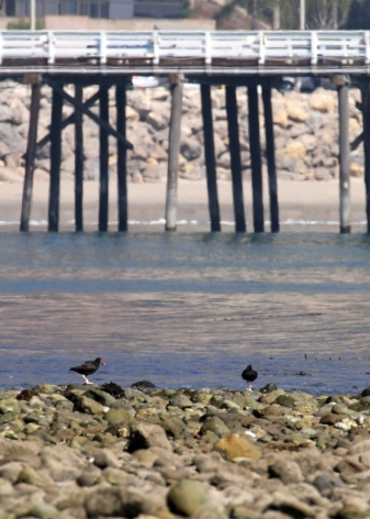 Black Oystercatchers - Malibu Pier in background (R. Ehler 2/23/14)