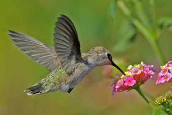 Anna's Hummingbird female (Jim Kenney 8/14/12)