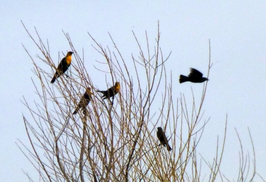 Yellow-headed Blackbirds (L. Johnson 2/15/14)