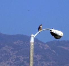 Peregrine Falcon on PCH light pole (L. Johnson 2/23/14)