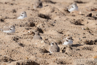 Snowy Plovers (Chuq Van Rospach - Flickr)