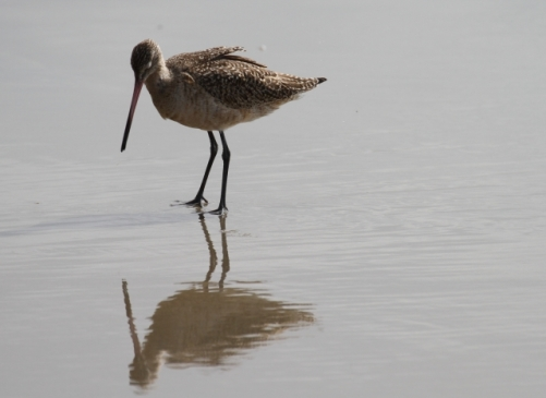 Marbled Godwit admiring its own reflection (R. Ehler 3/23/14)