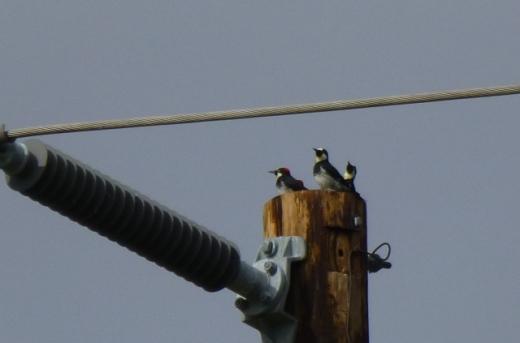 Acorn Woodpecker trio, Reagan Ranch (C. Almdale 4/12/14)