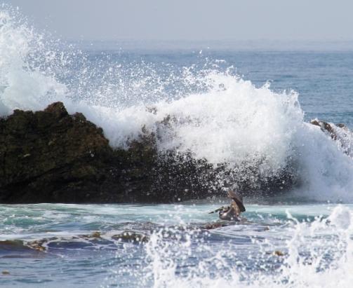 Brown Pelican dodging waves (R. Ehler 3/23/14)