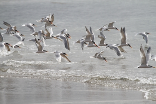 Elegant Terns flying (R. Ehler 3/23/14)
