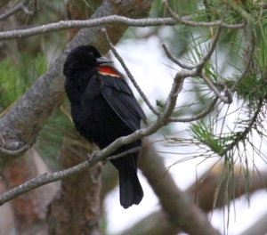 Red-winged Blackbird checks out the situation (R. Ehler 5/25/14)