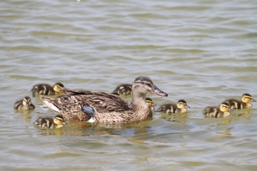 "Despite the cries from ""those of little faith,"" the lagoon's Mallards are doing quite well, thank you. (R. Ehler 5/25/14)"