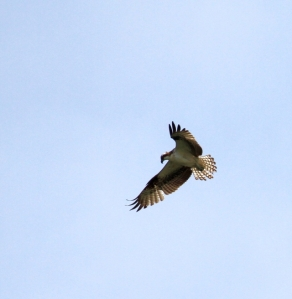 It's neither Kite nor Eagle, but an Osprey (R. Ehler 5/25/14)