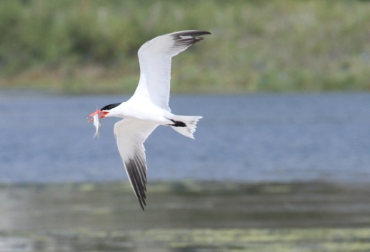 Caspian Tern with a gift for his mate (R. Ehler 5/25/14)