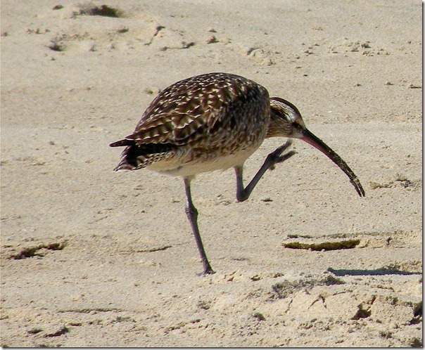 WhimbrelMalibu4 27 14_Laurel