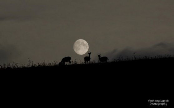 harvest-moon-deer-ireland_Anthony Lynch_9-19-13