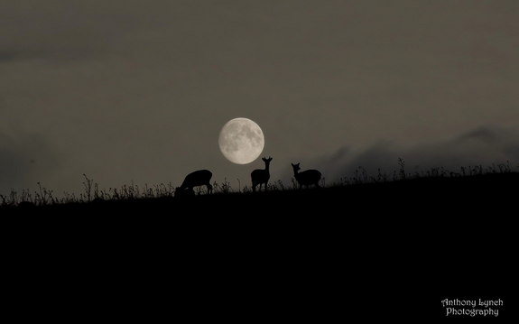 Irish harvest moon & deer (Anthony Lynch 9/19/13 from Space.com)