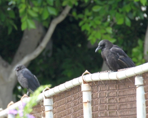 Juvenile & adult Crows (R. Ehler 6/22/14)