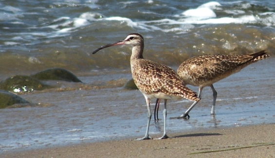 Two Whimbrels (Laurel Jones 6/22/14)